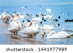 White Swan Flock On Sea Beach....
