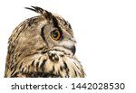 Stock photo head of adult horned owl in profile isolated on white background 1442028530