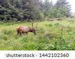 Two Roosevelt Elk With Large...