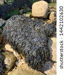 Seaweed One Rock At Beach