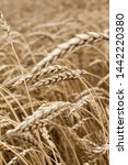 wheat spikelets in the field... | Shutterstock . vector #1442220380
