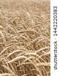 wheat spikelets in the field.... | Shutterstock . vector #1442220383
