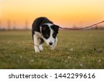 Stock photo young cute border collie puppy dog is running on a green meadow in front of colored sunset sky 1442299616