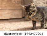 Stock photo porttrait of a young tabby cat 1442477003