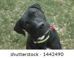 Black American Staffordshire Terrier dog - stock photo