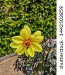 harrogate  uk   june 29 2019 ... | Shutterstock . vector #1442503859