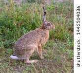 Stock photo european brown hare free in the fields 1442504036