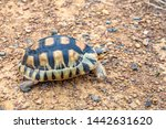 Stock photo close up sulcata tortoise spurred tortoise resting in the garden spurred tortoise on ground with 1442631620