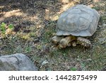 Stock photo the african spurred tortoise centrochelys sulcata also called the sulcata tortoise 1442875499