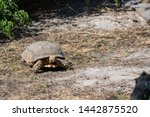 Stock photo the african spurred tortoise centrochelys sulcata also called the sulcata tortoise 1442875520