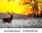 red deer in morning sun | Shutterstock . vector #144303010