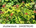 Ripening Blackberries On The...
