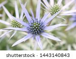 Small photo of The flowers of the Mediterranean Sea Holly Plant. Botanical name Eryngium bourgatii. Focus is on the centre of the flower to exaggerate the stamens.