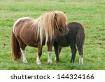 A Shetland Pony With Her Foal...