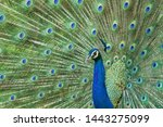 the  colourful bird of india.    Shutterstock . vector #1443275099