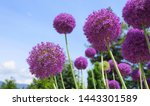 Small photo of Bright and showy Allium Giganteum flowers close up. Vivid giant balls of blooming Allium flowers. Common name Flowering Onion.