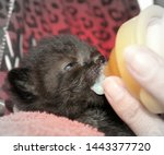 Stock photo ten days old kitten is fed with the baby bottle milk for the kitten 1443377720