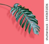 philodendron tropical leaves on ... | Shutterstock . vector #1443651836