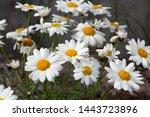 argyranthemum is a genus of...