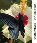 Black Butterfly On Hibiscus...