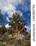 Ancient Bristlecone Pine  Inyo...
