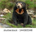 Sun Bear  Helarctos Malayanus