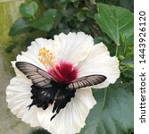 Butterfly On A White Hibiscus...