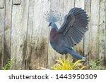 The Beautiful Victoria Pigeon...