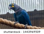 A Lear's Macaw Stands On The...