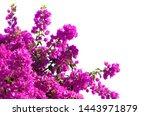 Blooming  Bougainvillea Of...