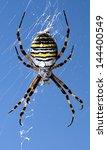 Fat Tiger Spider