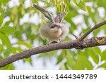 nestling of red backed shrike... | Shutterstock . vector #1444349789