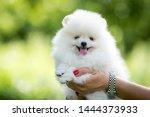 White Pomeranian Baby Posing...
