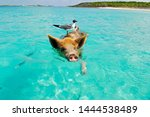 Pig swimming in the ocean in...