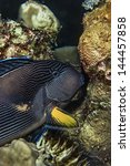 Small photo of SUDAN, Red Sea, U.W. photo, Black Striped Surgeonfish (Acanthurus gahhm) - FILM SCAN