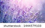 Lavender Flower Field  Bloomin...