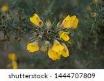 Brilliant Yellow Flowering...