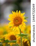 Group Of Sunflower  Summer...