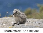 Chick Yellow Footed Seagull In...