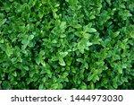 Evergreen Shrub Leaves. Drops...