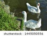 White Wild Goose Floats Along...