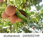 Sapodilla Fruit For Healthy....