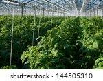 A Shot Of Tomato Plants Growin...