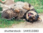 Stock photo dog and cat playing on the grass 144513383
