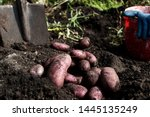 Freshly Dug Organic Potatoes O...