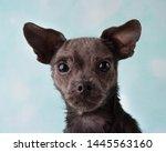 Cute Small Rescue Chihuahua...