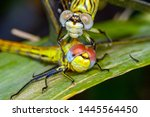 Stock photo showing of eyes dragonfly and wings detail beautiful dragonfly in the nature habitat 1445564450