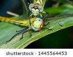 Stock photo showing of eyes dragonfly and wings detail beautiful dragonfly in the nature habitat 1445564453