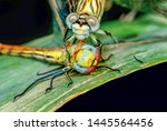 Stock photo showing of eyes dragonfly and wings detail beautiful dragonfly in the nature habitat 1445564456