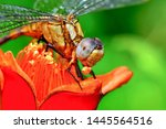 Stock photo showing of eyes dragonfly and wings detail beautiful dragonfly in the nature habitat 1445564516